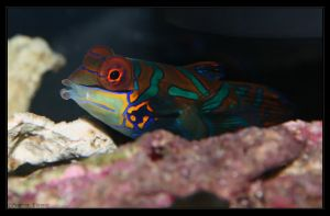 Female Green Mandarin Goby by oOBrieOo