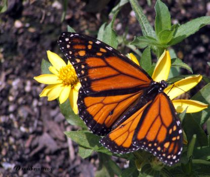 BrookfieldZoo MonarchButterfly by darkspirited1