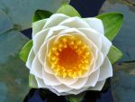 Water Lily by MikeKlacy