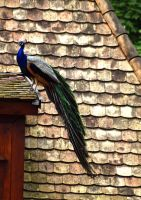 Peacock on the Roof by SalyZoli