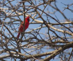 Male Cardinal May - 2014 - 1 by toshema
