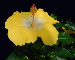 Soft Yellow Hibiscus by FauxHead