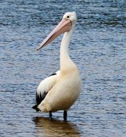 Pelican portrait by CouchyCreature