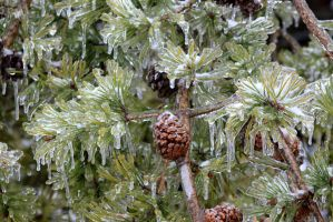 Frost Glazed Pines - Ice Storm 2015 by CrystalMarineGallery