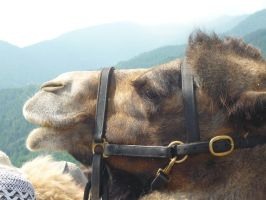 Other Camel by KiraraLover