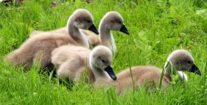 Ugly ducklings by simsunas