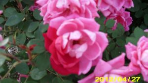 A Rose With Two Colors by Hillbillygirl