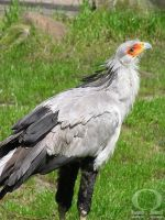 Secretary Bird by ZliZemenize