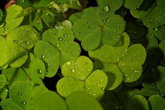 The Common Wood Sorrel by bega