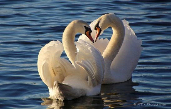 Swan love romance by MT-Photografien