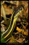 Snake In The Grass 1 by KSPhotographic