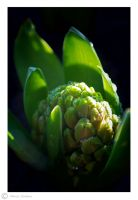 Dew-covered hyacinth by Moonbird9