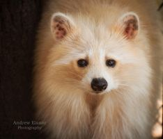 Blonde Raccoon by AEisnor