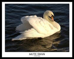 SWAN by THEDOC4