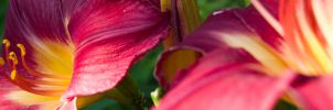 Daylilies by Wolf-Daughter