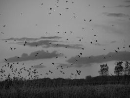 Starlings in black and white by Juliemarie91
