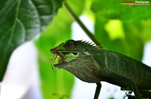 When chameleon hungry and prey grasshopper by jnrlavigne