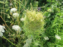 Queen Anne's Lace 1 by Windthin