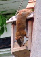 Gymnastics for the squirrel... by JocelyneR