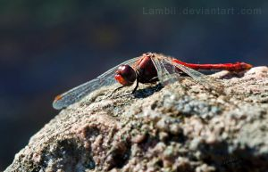 dragonfly just chillin by Lambii