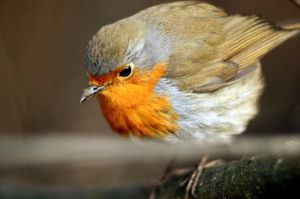 Robin macro by corsuse
