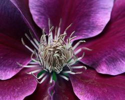 Last Year's Clematis by andras120