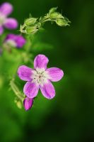Purple Wood Cranesbill by boxx2genetica-stock