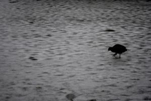 coot. by jashxxx