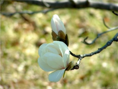 White Magnolia by jewels4665