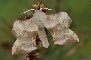 Poplar Hawk-moth 1 by bugalirious-STOCK