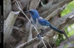 Florida Scrubjay Stock 6 by Cassy-Blue