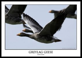 Greylag Geese by THEDOC4