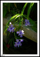 Iris in the Shade 001 by LoneWolfPhotography