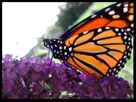 monarch butterfly by sarahbbutler