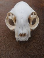Domestic Cat Skull W/ Bone Infection by Saceronsage