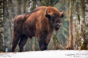 Bison in the snow by Dark-Raptor