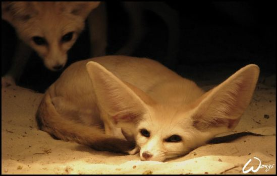 Wake up, cute friend fennec by woxys