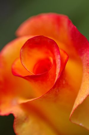 My Favorite Rose by *Destined2see