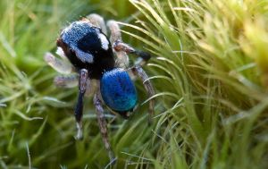 jumping spider by shatterkite