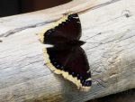 Mourning Cloak by thatbloodypirate