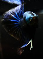 Happy, Turquoise Dragon HM Betta Male by HappyBettas