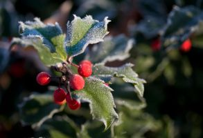 Frosty Holly by muffet1