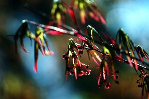 Japanese Maple Seeds by incolor16