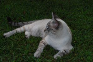 Tabby Siamese Cross 2 by Snowyowl88-Stock