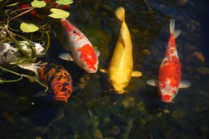 Koi from The Koi Pond by MontanaGramma