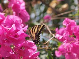 Western Tiger Swallowtail 18 by photographyflower