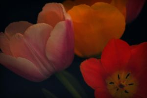 Tulip Study-08 by ncphotojunkie