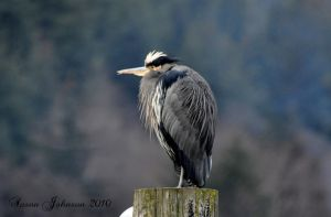 Chilly Heron by AlaskaGrl
