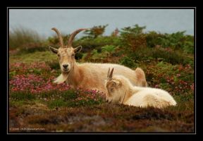 Goats in Heather by 2B2H