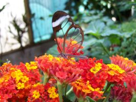 Glass-winged Butterfly by BrighterDiscontent